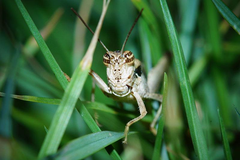 Grasshopper on the Minolta 100mm 2.8 macro
